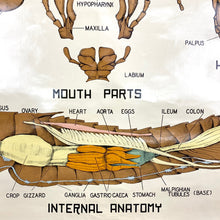 Load image into Gallery viewer, Grasshopper Anatomy Chart