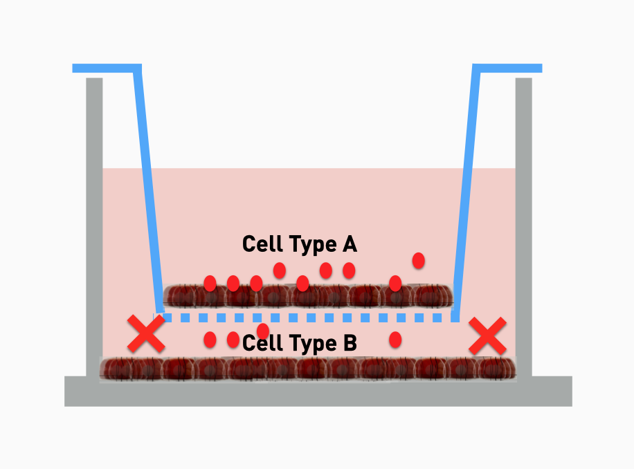 cell cell  communication in transwell inserts