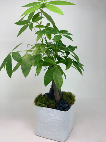 Minimalistic Modern Dad ! Large Money Tree - Bloom Plan Design Miami Flower Delivery Services Father' Day gift Dad
