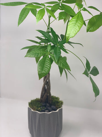 Concrete Jungle Dad !  Money Tree - Bloom Plan Design Miami Flower Delivery Services Father' Day gift Dad