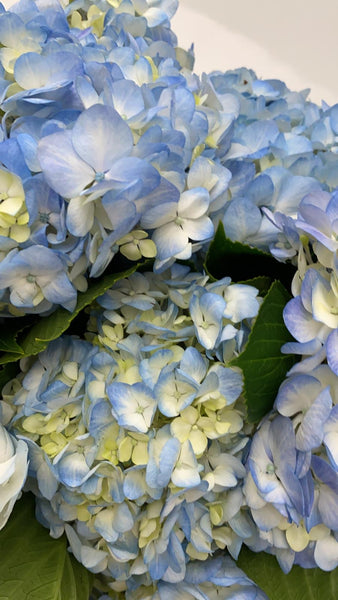 Large Blue hydrangeas in white vase - Bloom Plan Design Miami Flower Delivery Services Father' Day gift Dad