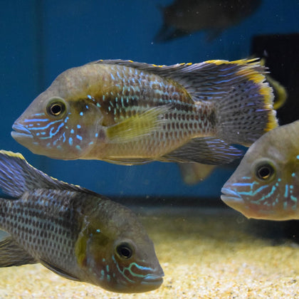 New World Cichlids