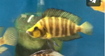 Altolamprologus Compressiceps 'Gold Head' (Wild)