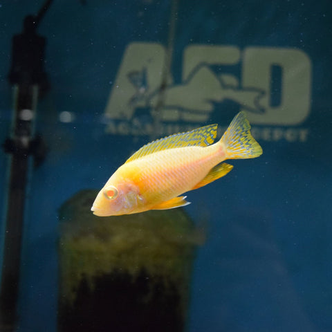 Albino Fire red Peacock 2.5""