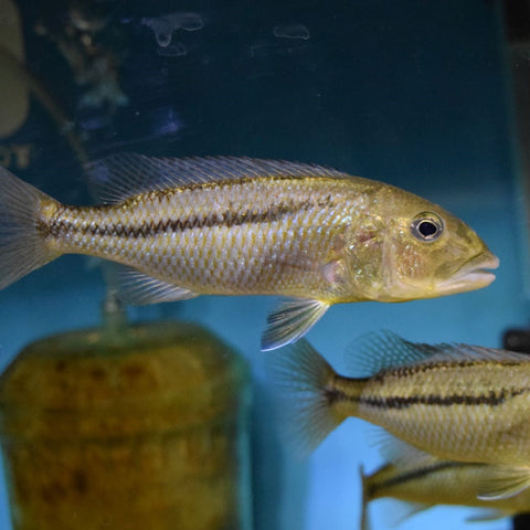 Aristochromis Christyi Males 4.5""
