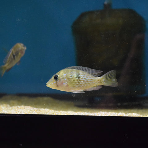 "Gymnogeophagus Sp. ""Blue Neon"" 1.5"""