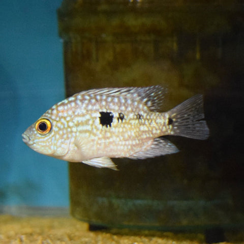 "Blue Texas Cichlid ""Escondido"" 3-3.5"""