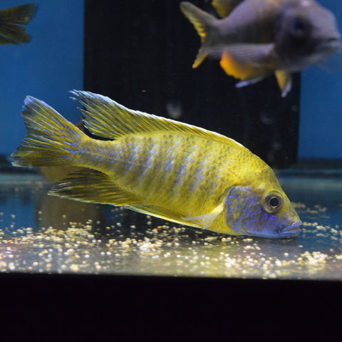 Aulonocara Sunshine Yellow Chidunga Large Male