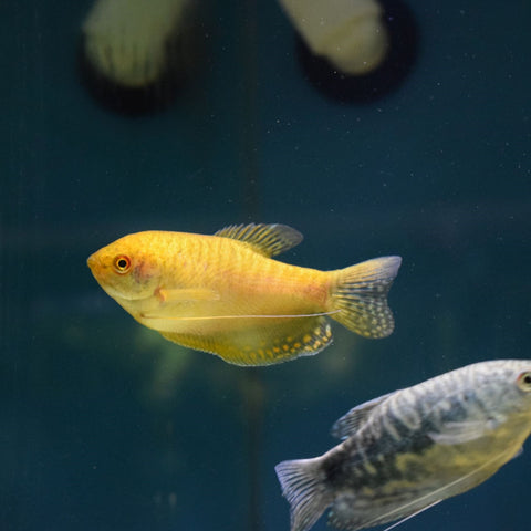 Gold Gourami Large