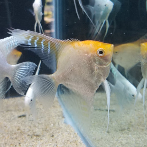 Assorted Angelfish 3-3.5""