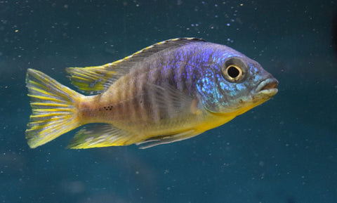 Placidochromis Sp Jalo Reef Large Male