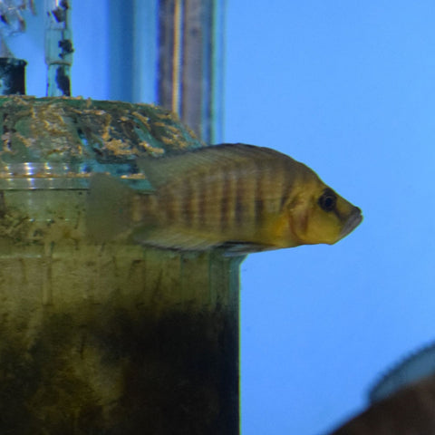 Altolamprologus Compressiceps Gold Head Medium