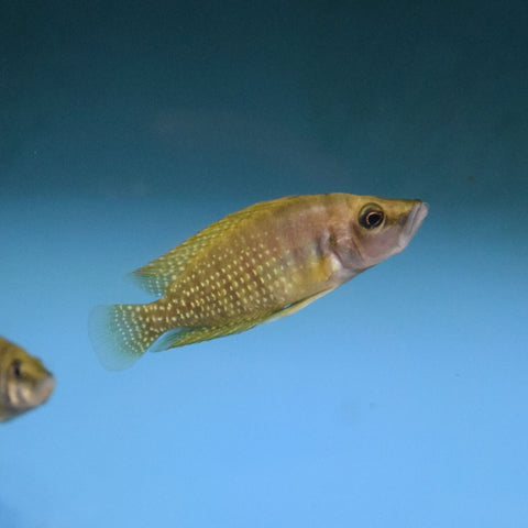 Altolamprologus Calvus Yellow Medium