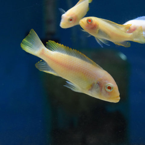 "Pseudotropheus Zebra ""Red Top Albino"" 2.5"""