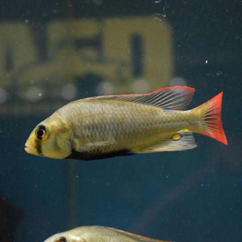 Ptyochromis Sp. Red Tailed Sheller