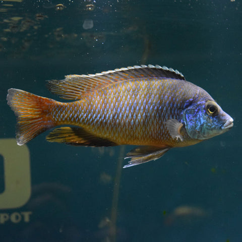 Red Empress Male 3.5-4""