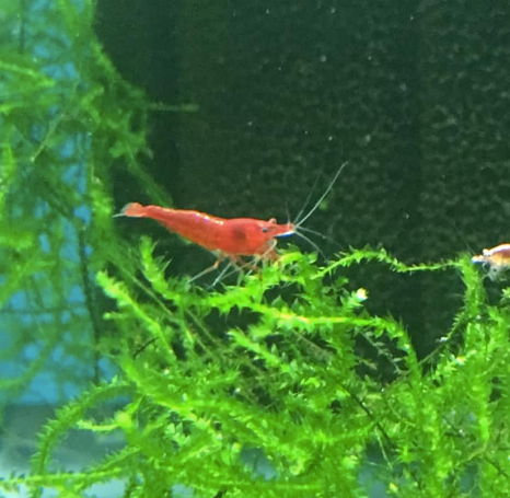 Shrimp Fire Red