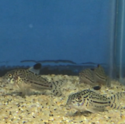 Trilineatus Cory Catfish