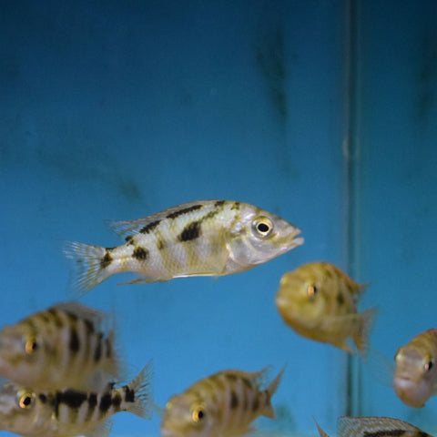 Placidochromis Milomo Vc-10 Medium