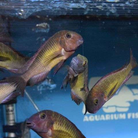 Tropheus Moorii 'Red Rainbow' Large 3""