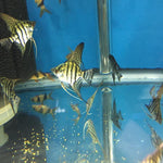 Zebra Lace Angelfish