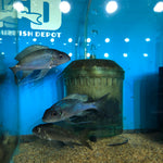 "Opthalmotilapia Ventralis ""Chituta Powder Blue"" Lg Adults"