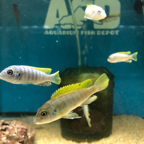 "Cynotilapia Afra ""Jalo Reef"" Small"