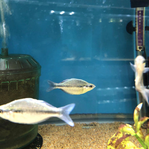 Kamaka Blue Rainbowfish