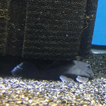 Blue Panaque Pleco L239 3-4""