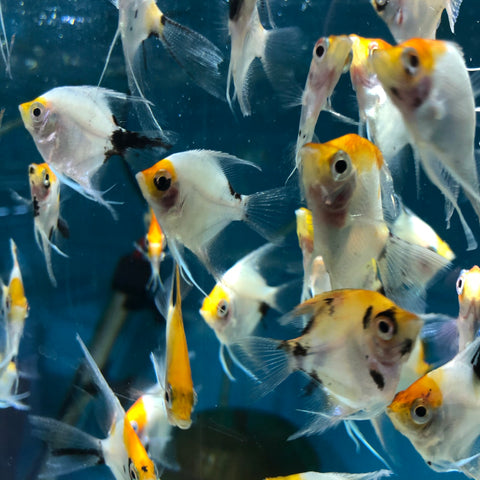Koi Angelfish Small 1-1-5""