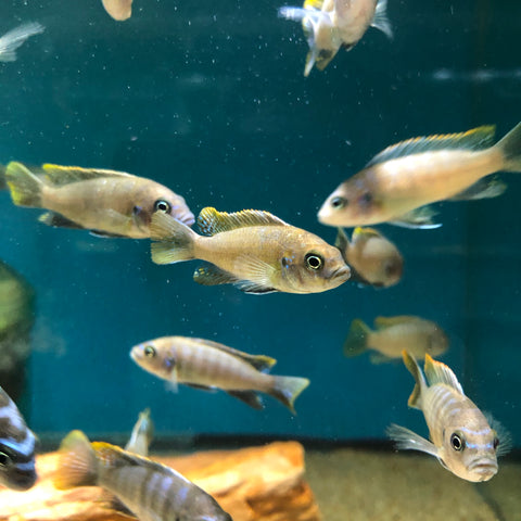 "Cynotilapia Afra ""Red Top Lundo"" 1.5-2"""