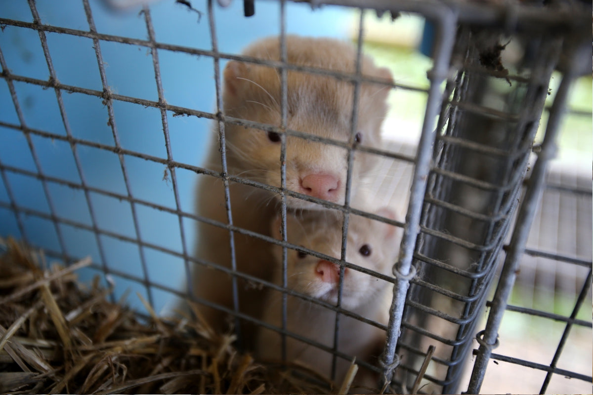European mink cage grown on a farm for fur Lithuania