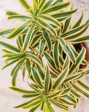 Dracaena reflexa, Plant Delivery, The Unlikely Florist