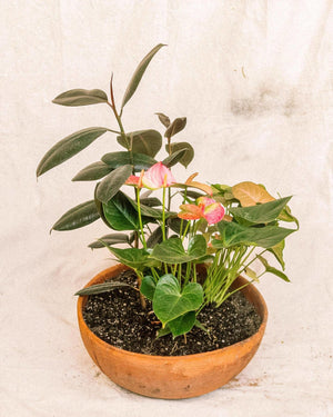 Ficus elastica, syngonium and Antherium arranged pot, Plant Delivery, The Unlikely Florist