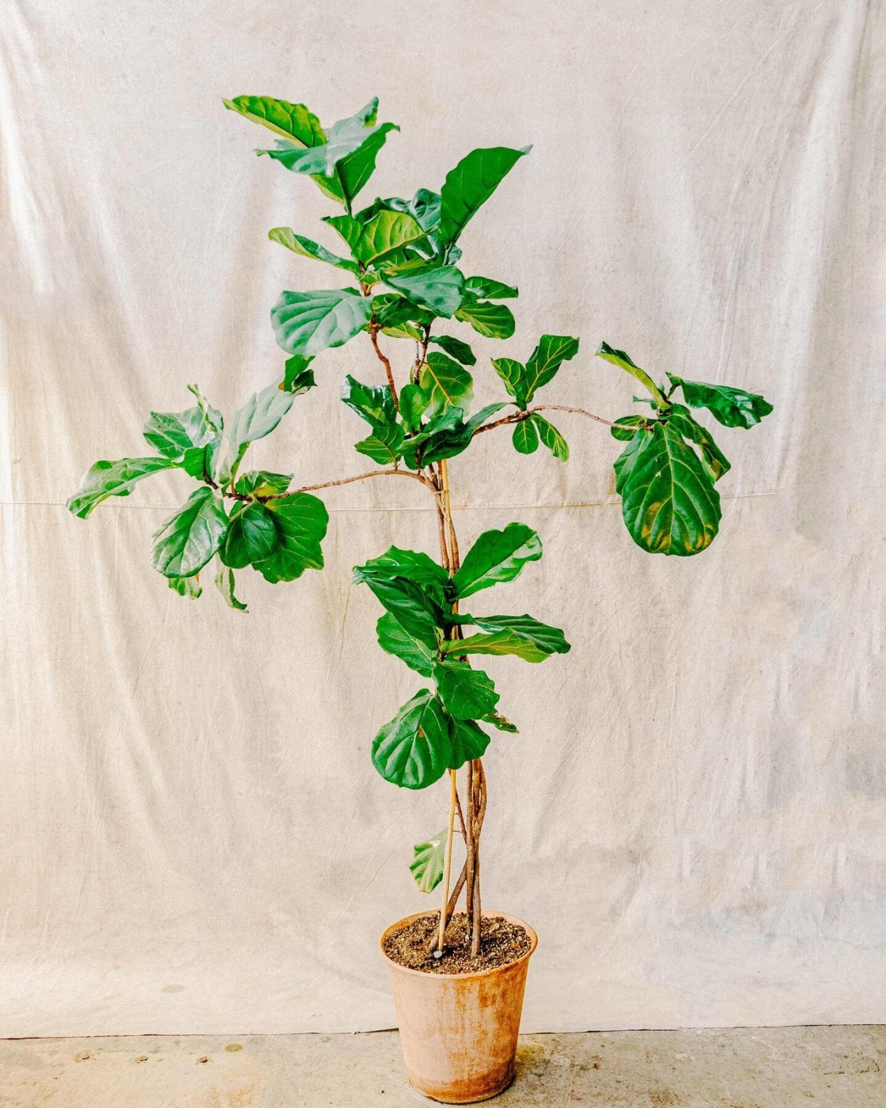 Ficus Lyrata No.2, Plant Delivery, The Unlikely Florist