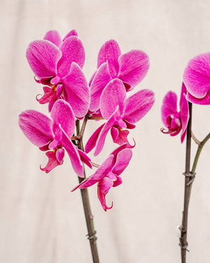 Large Orchid, Orchid Delivery, The Unlikely Florist