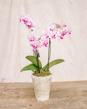 Medium Orchid, Orchid Delivery, The Unlikely Florist