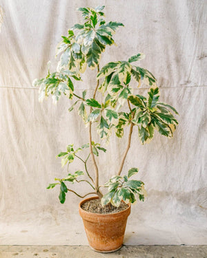 Pisonia umbellifera Variegata No. 2, Plant Delivery, The Unlikely Florist