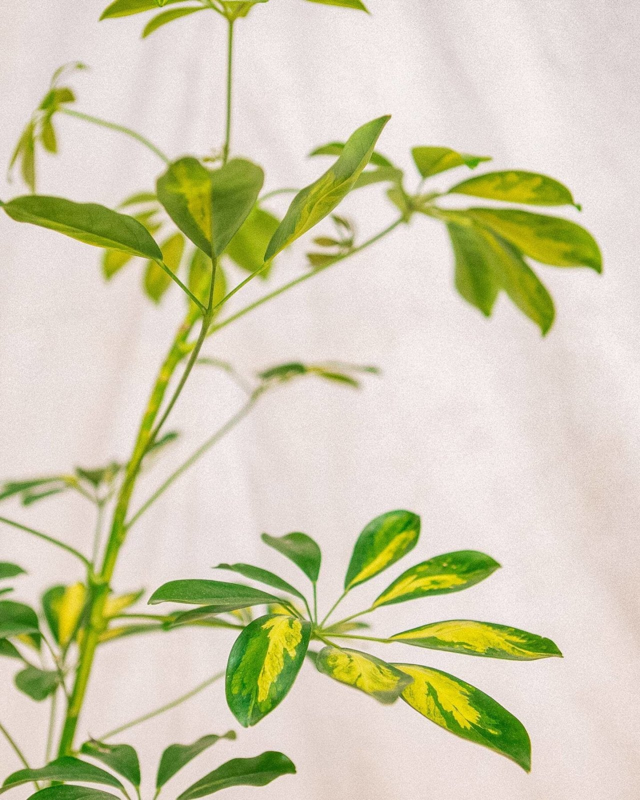 Schefflera Arboricola Variegata, Plant Delivery, The Unlikely Florist