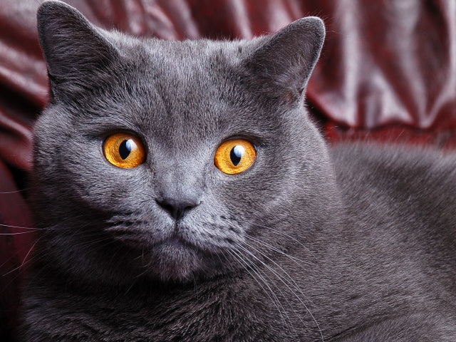 Top 10 Fun Facts About British Shorthair Cats