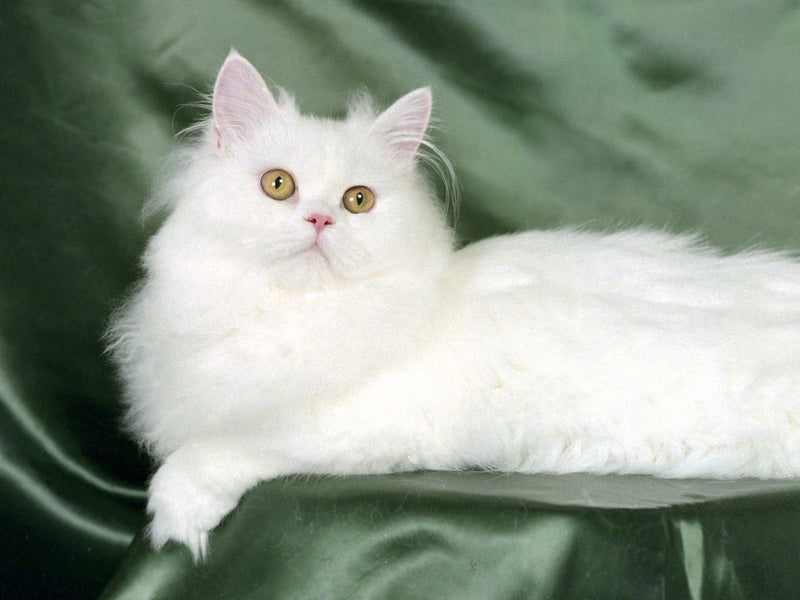 10 Fun Facts About Persian Cats