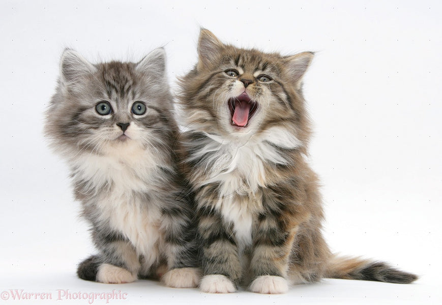 10 Things About Maine Coon You Probably Haven't Heard Of!