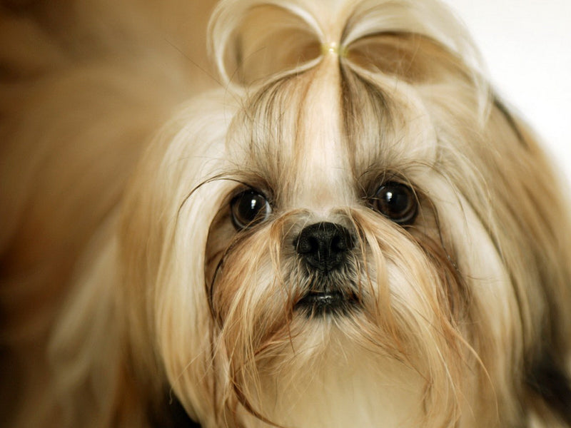 Let's Know A Little Bit More About Shih Tzu!