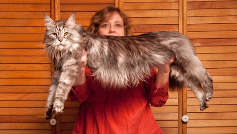 10 Things About Maine Coon You Probably Haven T Heard Of Waggymeal Com Fastest Growing Online Pet Supplies Store In Malaysia