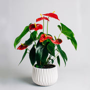 Beautiful anthurium