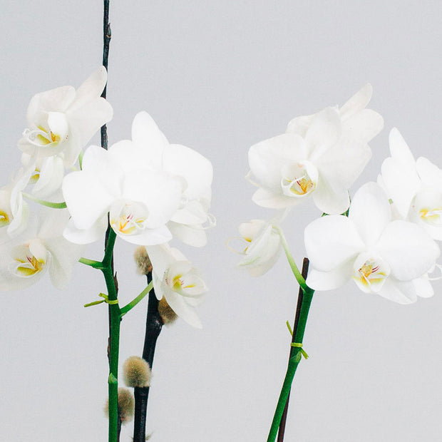 Heavenly orchid