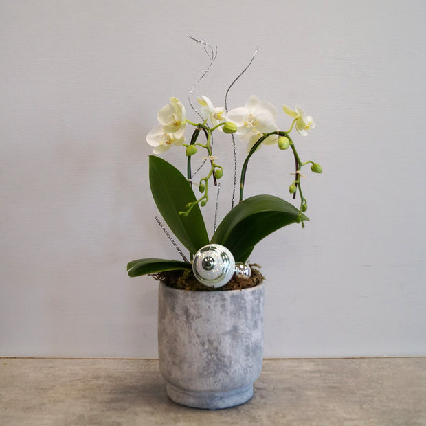 Winter mini orchid