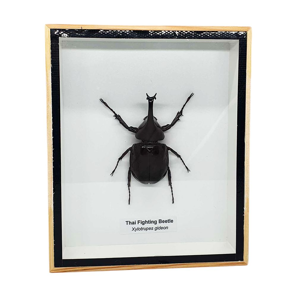 Vie Naturals Taxidermy Fightting Beetle, 12.7x15.5cm