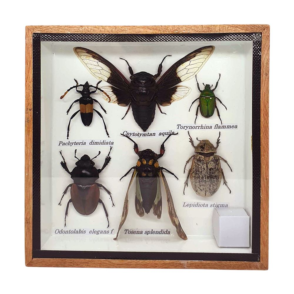 Vie Naturals Taxidermy Boxed Insect Set, Extra Small, Assorted, 15x15cm