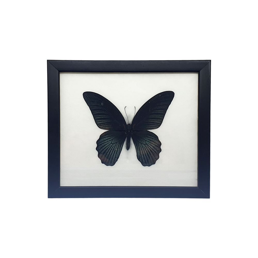 Vie Naturals Taxidermy Butterfly Mounted Under Glass, 20x17.5cm, Great Mormon